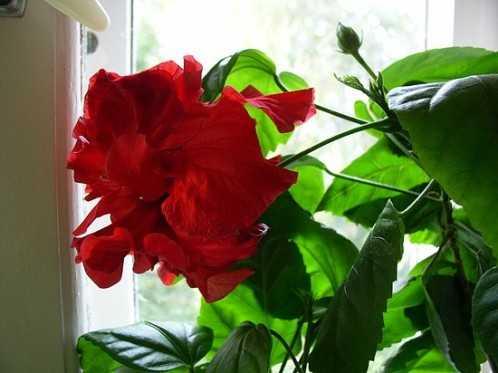 Роза домашняя гибискус уход в домашних условиях