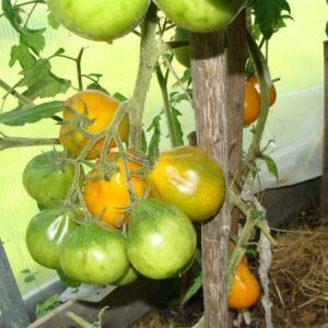 Семена томата Японский трюфель оранж. Купить по РФ почтой.
