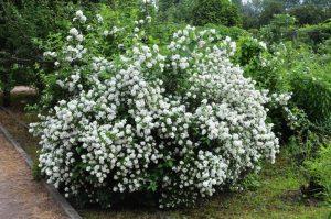 чубушник (жасмин садовый) саженцы