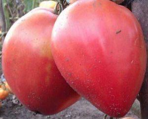 Томат Абаканский розовый. Купить Семена, Рассаду с доставкой.