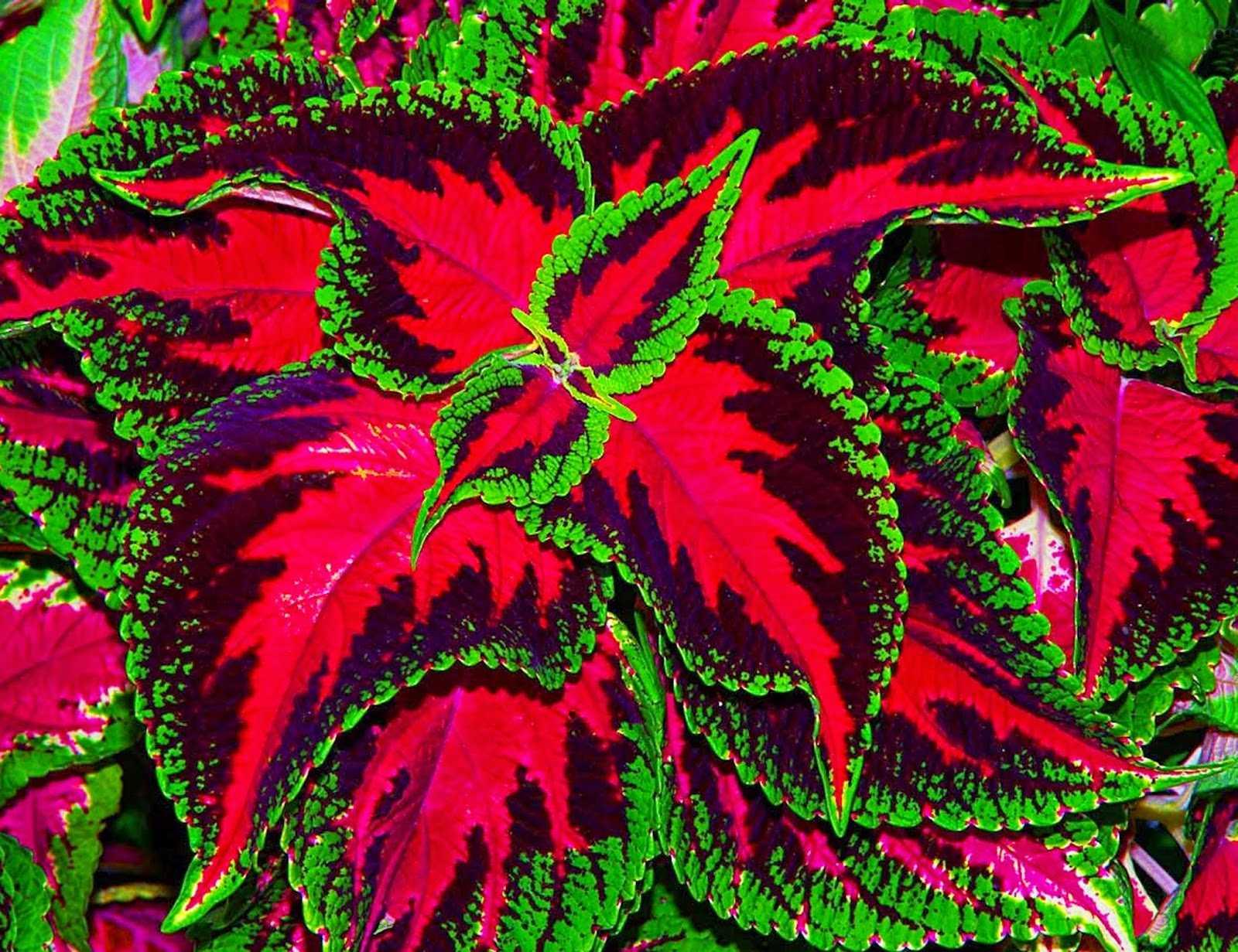 Комнатные цветы с разноцветными листьями