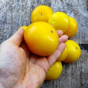 томат дина купить семена рассаду