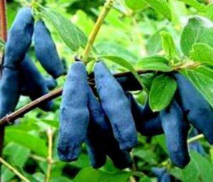Жимолость съедобная Голубое веретено саженцы