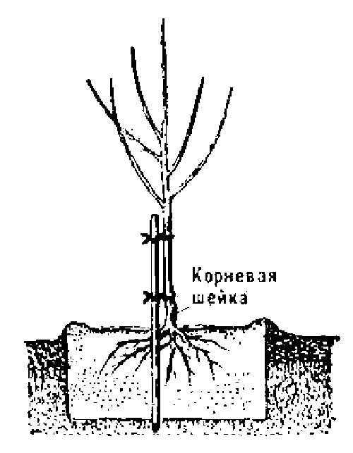 Как корни яблони находятся на повехости вид одежды удобный