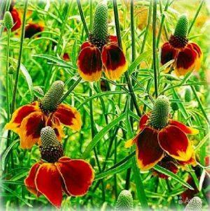 Ратибида колоновидная (Мексиканская шляпа)