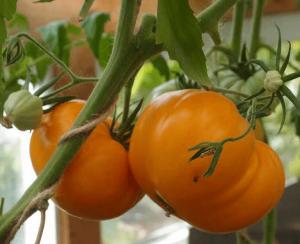Томат Алтайский Оранжевый. Купить Семена, Рассаду с доставкой.