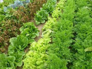 морковь и салат