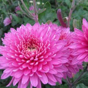 хризантема корейская розовая