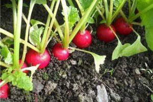 Стратификация семян - редис