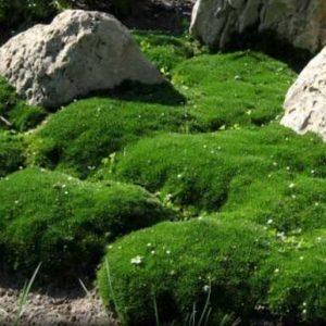 Саженцы Ирландского мха (Мшанка)