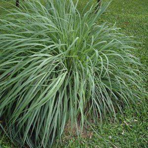 трава лемонграсс