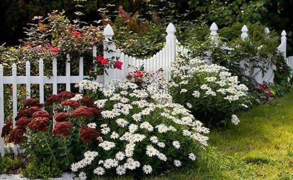 Нивяник цветов в клумбе
