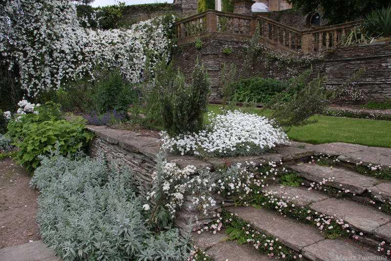 ясколка в саду