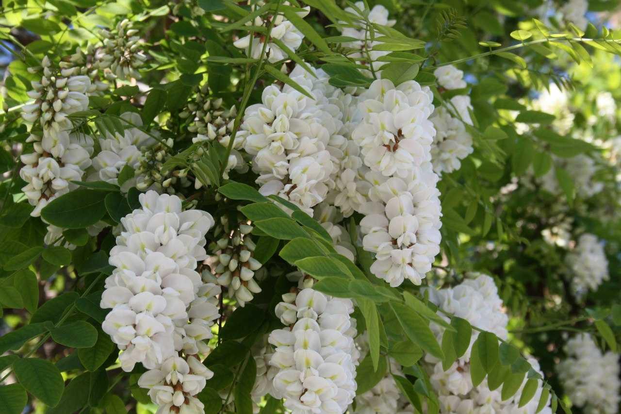 Акация фото дерева с цветами белыми