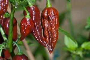 Перец Бхут Джолокия чили шоколадный. Купить Семена, Рассаду доставкой.