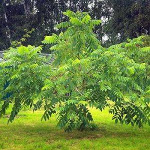 растение маньчжурский орех