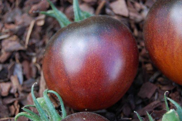томат синий шоколад