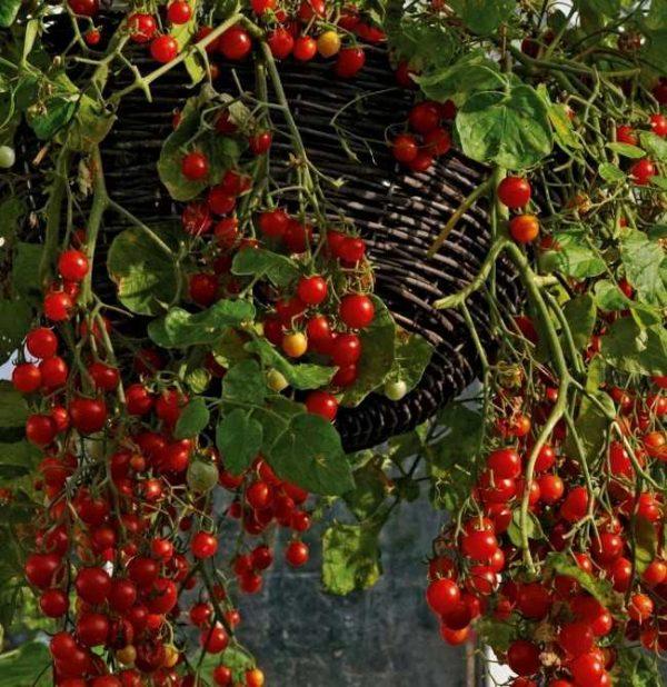 томат вишневый водопад