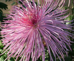 хризантема многолетняя кустовая SPIDER PINK