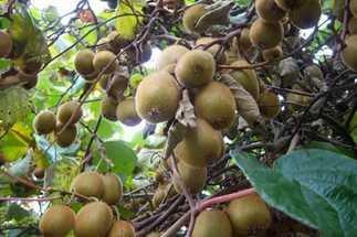 Лианы плодовые