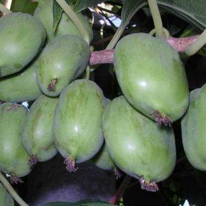 актинидия коломикта ленинградская крупноплодная саженцы