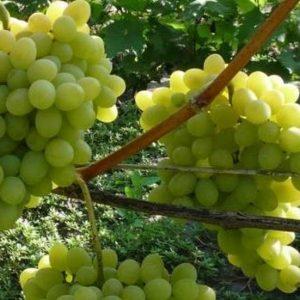 виноград плодовый августин саженцы
