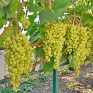 саженцы винограда алешенькин