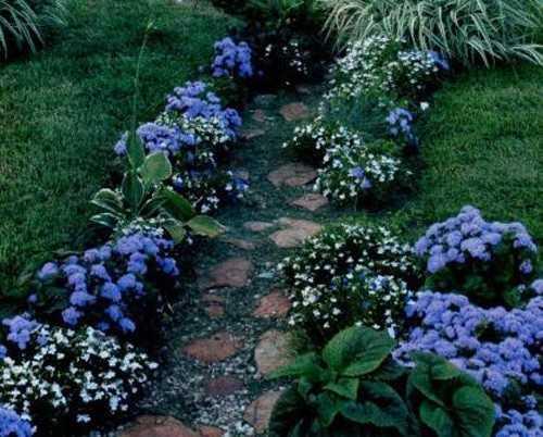 агератум в саду