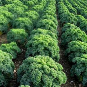 капуста листовая кале
