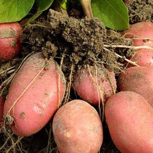 Картофель семенной клубни
