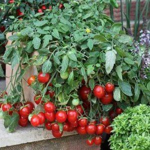 Сладкие томаты черри