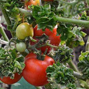 томаты палка колоновидная