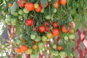 Томат Garden Pearl. Купить Семена, Рассаду с доставкой.