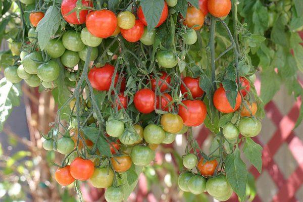 garden pearl томаты