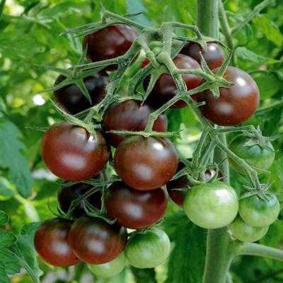 томат черри черный шоколад