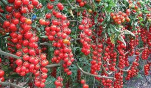 томат свит пиа