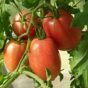 томат солоха