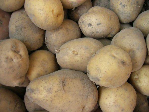 картофель семенной коломбо