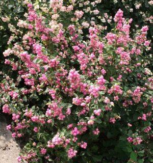 Снежноягодник розовый Аметист