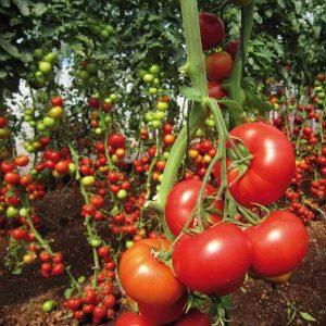Семена томатов урожайных сортов