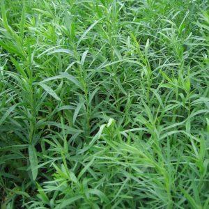 эстрагон семена