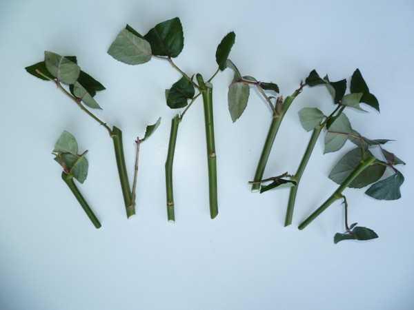 укоренить черенок розы из букета