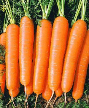 морковь коралл