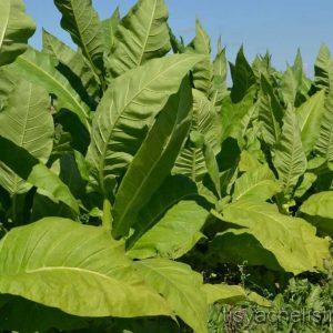 Семена табака курительного