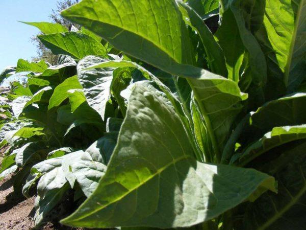 семена табака вирджиния голд