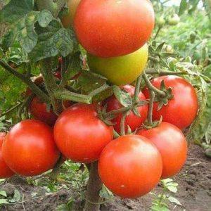 семена томатов джина