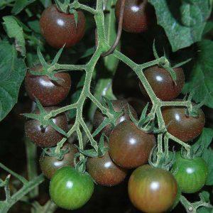 томат черный черри