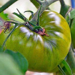 томат тётя руби