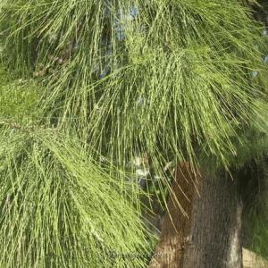семена казуарины