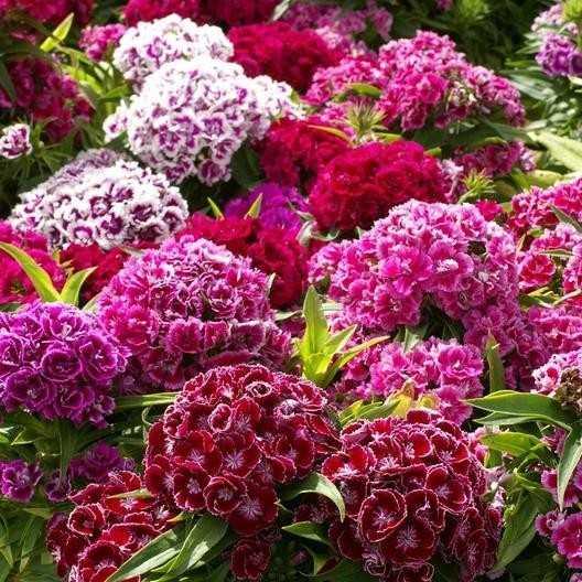 Турецкая Гвоздика 🏡 Семена - Купить в СПБ или Почтой. Посев, Выращивание, Уход.